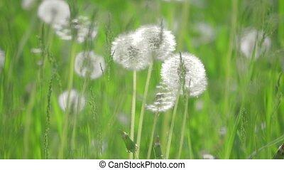 White fluffy dandelions, natural lifestyle field dandelions...