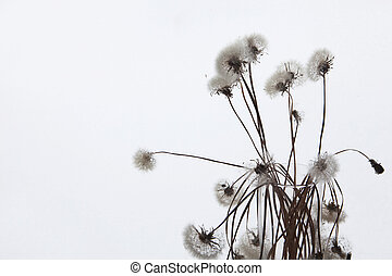 White fluffy flower Tragopogon dubius, yellow salsify. - ...