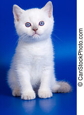 White fluffy kitten with blue eyes on a blue background
