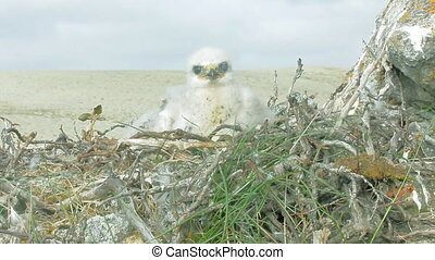White fluffy nestling birds of prey  rough-legged Buzzard  nest.  Novaya Zemlya