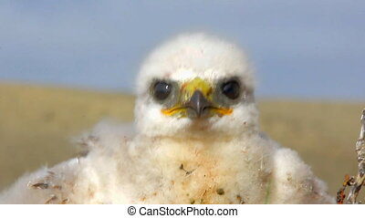 white fluffy nestling birds of prey