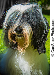 Tibetan Terrier dog on nature