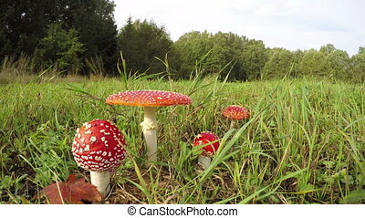 white fly agarics in the meadow