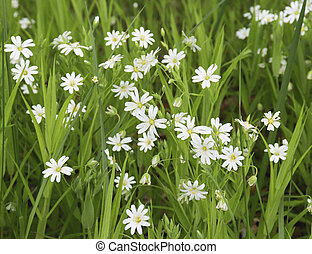 white forest flowers in green grass.Background of white small flowers.