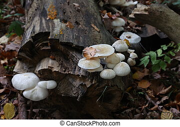 White forest mushrooms grew on the fallen tree.