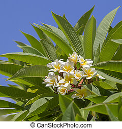 White Frangipani flower at full bloom during summer and green leaves. Plumeria tree and blue sky, Thailand