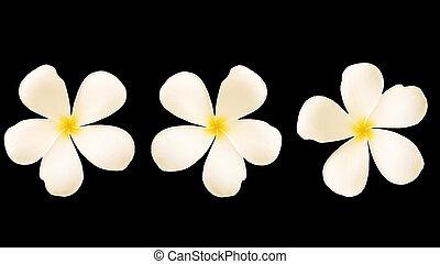 White Frangipani flower, Isolated on black background