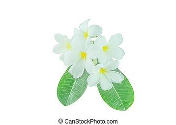 white frangipani flower isolated white