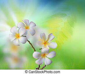 white frangipani flower with green