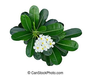 white frangipani flower with leaves isolated on white background