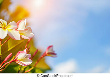 White frangipani flowers, bright light, sky background