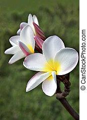 White Frangipani (Plumeria rubra var. acutifolia ) blossom ...