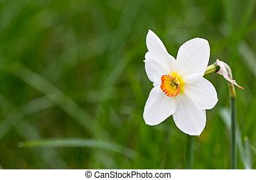 white fresh daffodil on blurred green grass background