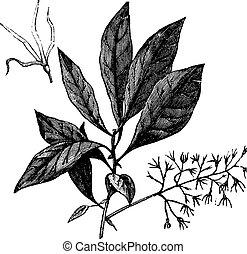 White Fringetree or Chionanthus virginicus vintage engraving