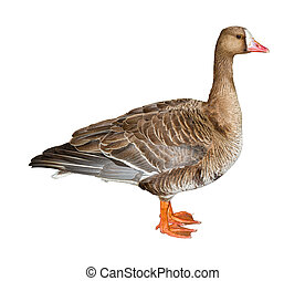 White-Fronted Goose Cutout
