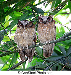 White-fronted Scops Owls - Couple of White-fronted Scops Owl...