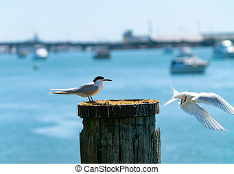 White-fronted tern nesting on old wharf piles