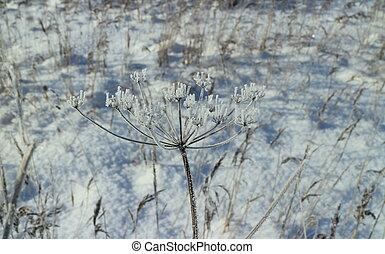 white frost dry stalks