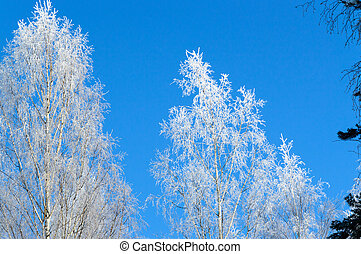 white frost on tree at sunny finnish winter day