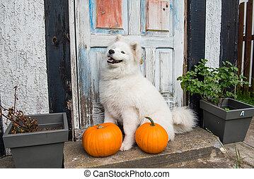 White funny Samoyed dog with halloween pumpkins. - White ...
