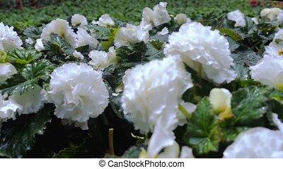 White garden flowers close up.