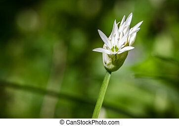 white garlic flower detail