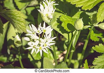 white garlic flowers