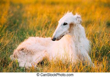 White Gazehound Hunting Dog Sit Outdoor In Summer Meadow Green Grass