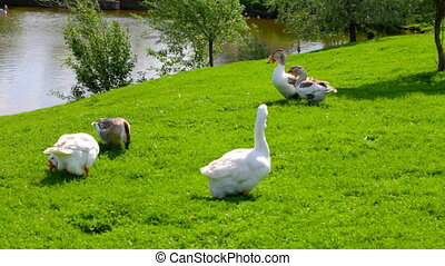White geese are grazed on a green grass on the bank of a...