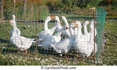 White geese create noise and cackling in the countryside in...