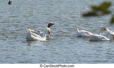 White geese in the village pond dive into the water