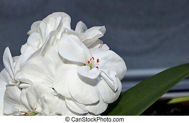 White geranium flower on a blurred background