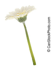 White gerbera flower