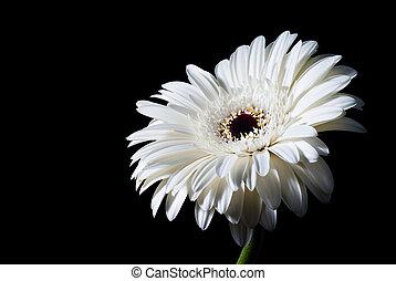 white gerbera flower isolated on black background
