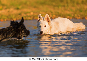 white German Shepherd and a black dog in the water