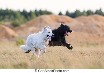 white German Shepherd and a hybrid dog running on the meadow