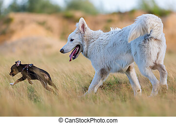 white German Shepherd and a pinscher in the meadow