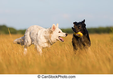 white German shepherd playing with a black dog outdoors