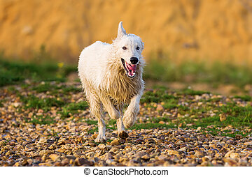 white German Shepherd running on a pebble beach