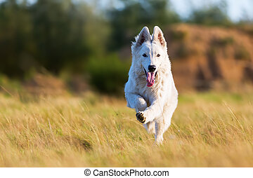 white German Shepherd running on the meadow