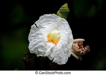 White Ginger Blossom