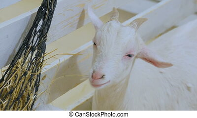 White goat eat hay in farm - White goat eat hay in contact...