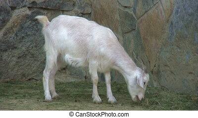 White goat feeding