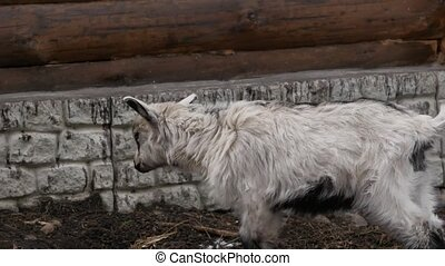 White goat grazing in contact zoo. artiodactyls on a farm.