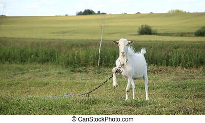 White goat grazing in the field