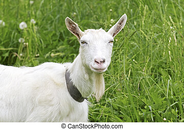White goat in a green meadow