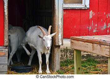 white goat in red barn doorway