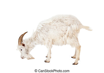 White goat isolated on white background.