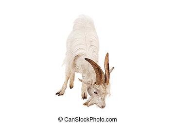 White goat isolated on white background.