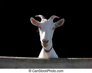 White goat, isolated